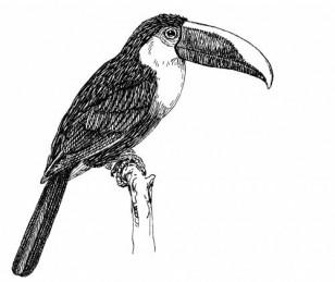 toucan-clipart-illustration